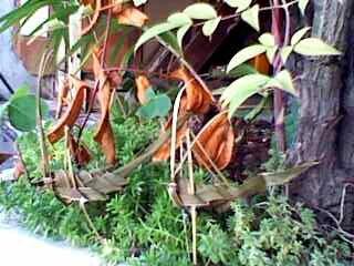 シロの葉で作ったバッタ