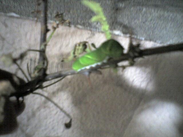 虫に食べられた山椒の葉